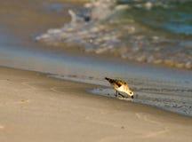 Söka efter föda fågeln Royaltyfri Bild
