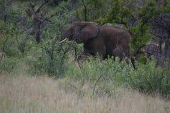 Söka efter föda för elefant royaltyfri foto
