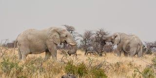Söka efter föda för elefanter arkivbilder