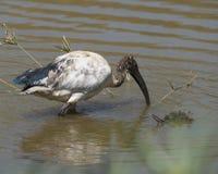 Söka efter föda för sakral ibis Arkivfoton