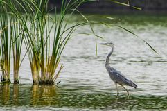 Söka efter föda i dammet Royaltyfri Fotografi