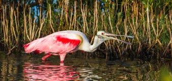 Söka efter föda Roseate Spoonbill Fotografering för Bildbyråer
