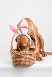 Sökande för hund för påskkanin Fotografering för Bildbyråer