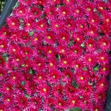 Sömlös bakgrund för alldeles röda naturliga blommor Arkivfoton