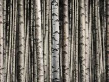 Sömlös björkskog Arkivbilder