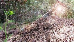 Sömlös kretsad myrstack i videoen för skogbakgrundslängd i fot räknat stock video