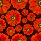Sömlös röd modell för Zinnia härlig blomma för bakgrund arkivbilder