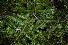 Sömlös textur av barrträds- av den gröna granen Royaltyfri Bild