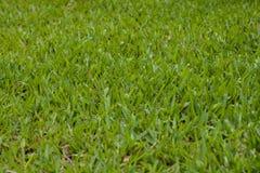 Sömlös textur för grönt gräs Arkivbilder