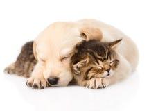 Sömn för golden retrievervalphund med den brittiska kattungen isolerat Royaltyfria Bilder