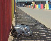 Sömn för middagar för hund` s Royaltyfria Bilder