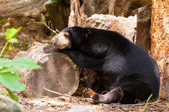 Sömn för svart björn på timmer Royaltyfri Fotografi