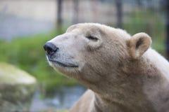 Sömnbjörn royaltyfri fotografi