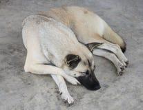 Sömnhund Royaltyfri Fotografi