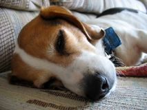 sömnig beagle Arkivbilder