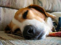 sömnig beagle Arkivbild