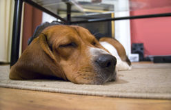 sömnig beaglehund Royaltyfria Bilder