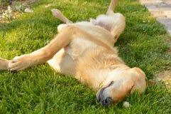 Sömnig blandad avelhund som sover i gräset Royaltyfri Bild