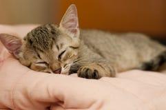 Sömnig brasiliansk katt för kort hår arkivfoto