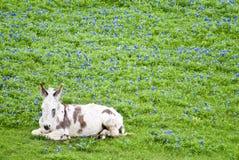 sömnig burro royaltyfri foto