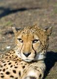 sömnig cheetah Royaltyfri Bild