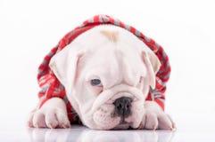 Sömnig engelsk bulldogg Royaltyfri Bild