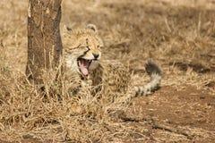 Sömnig gepardgröngöling Fotografering för Bildbyråer