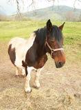 sömnig häst Fotografering för Bildbyråer