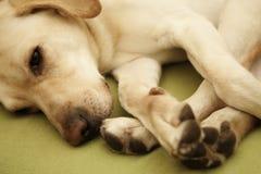 sömnig hund Fotografering för Bildbyråer