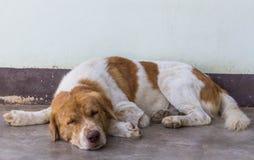 sömnig hund Royaltyfri Bild