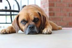 sömnig hund royaltyfria bilder