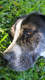 Sömnig hund på gräs Arkivfoto