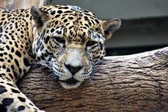 sömnig jaguar Arkivfoton