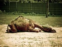 sömnig kamel Arkivfoton