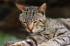 sömnig katt Fotografering för Bildbyråer