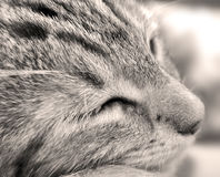 sömnig kattunge royaltyfria bilder