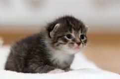 sömnig kattunge Fotografering för Bildbyråer