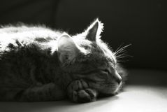 sömnig kattungemonokrom Royaltyfri Bild