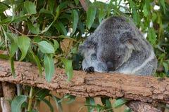 sömnig koala Arkivbild