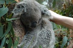 sömnig koala Arkivfoton