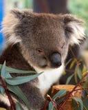 Sömnig koala når att ha haft lunch royaltyfri fotografi