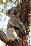 Sömnig koala på en gaffel för Eucalyptträdfilial Arkivbild