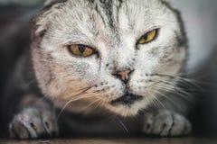 Sömnig lat katt Royaltyfria Bilder