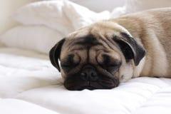 Sömnig mops på säng Royaltyfri Bild