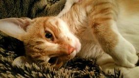 Sömnig orange katt Royaltyfria Bilder