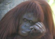 sömnig orangutan fotografering för bildbyråer