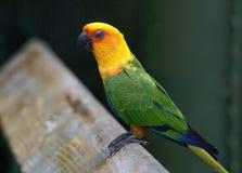 sömnig papegoja Arkivbild