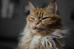 Sömnig röd inhemsk katt Arkivfoton