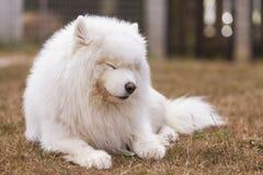 Sömnig Samoyedhund Arkivfoton