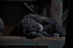 Sömnig schimpans Arkivbild